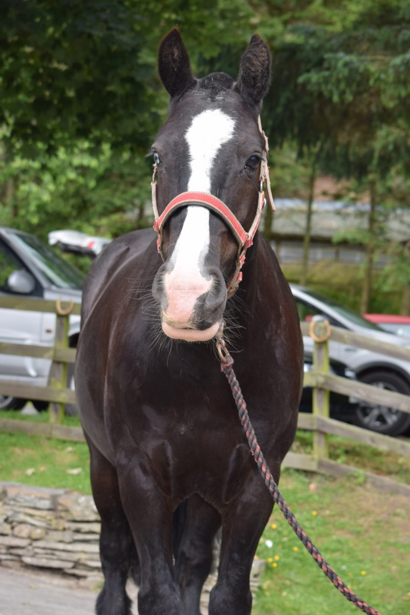 The most adorable wee cob gelding and is 13.2hh. Very sensible, giving & safe as houses.