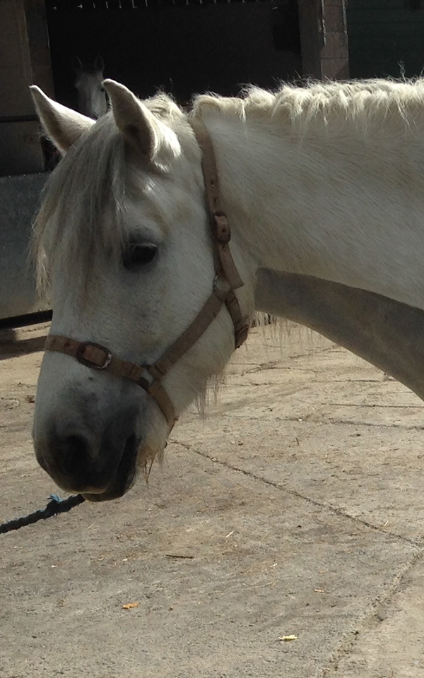 A 15hh Highland gelding and for such a big boy is the cuddliest you could ever wish to meet.