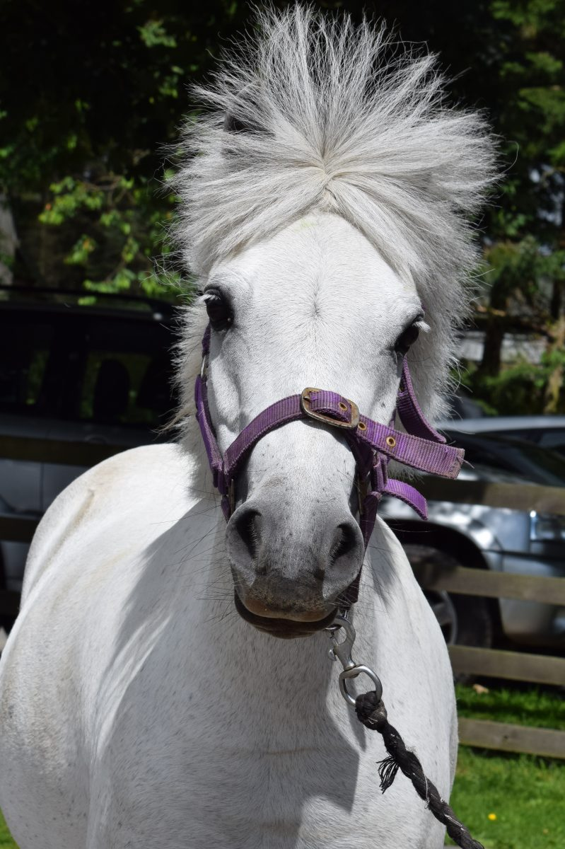 A Welsh Section A mare and stands at about 11hh. She is a gorgeous and loves playing games!