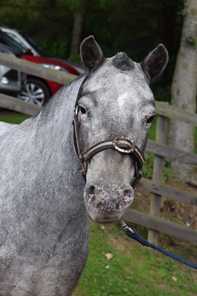 Registered with the Spotted Pony Society and is the smallest of our four legged friends at under 11hh.